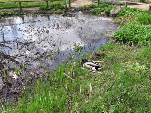 Enten am Teich (April)
