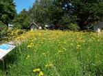 Wildblumenwiese in gelb